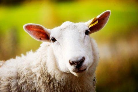 Kjøtt fra sau og lam er et sunt og godt produkt som er basert på utmarksressurser i Norge, poengterer organisasjonen Norsk Sau og Geit. Illustrasjonsfoto: Kyrre Lien / SCANPIX