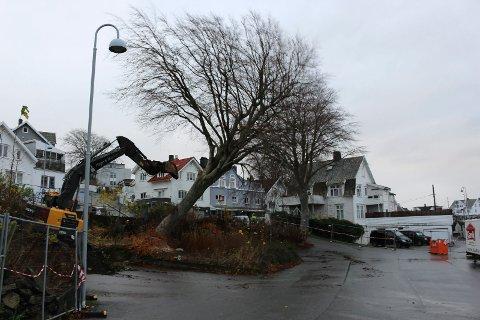 FELT: Mandag falt ett av bøketrærne i Bøkelunden. Nå er det fare for at også det andre treet av samme sort (til høyre) også må tas.