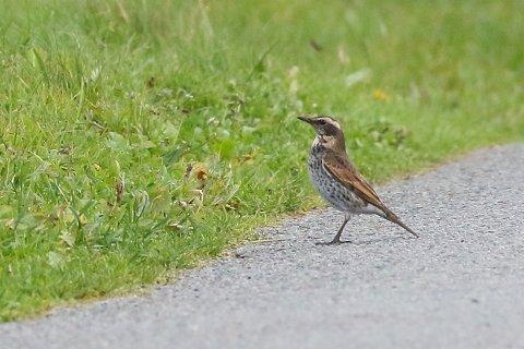 SJELDEN OBSERVASJON: Onsdag ble denne sjeldne fuglearten oppdaget ved Åkrasanden.