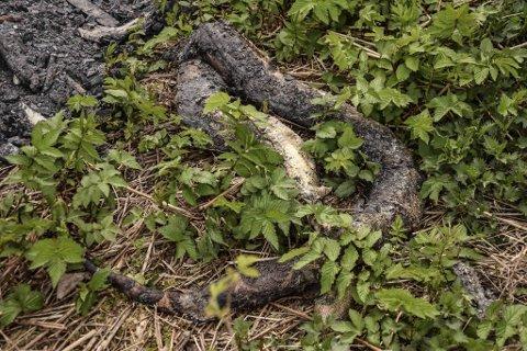 I utkanten av eiendommen til borettslaget på Skoppum i Horten ble denne skapningen funnet, delvis brent og i full forråtnelse. Slangen anslås å være mellom 1 1/2 og 2 meter lang. Tykkelsen er som overarmen på en mann.