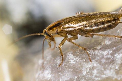 Det er eksemplarer av arten tysk kakerlakk som er funnet på Leirfjord barne- og ungdomsskole. Foto: Hussopp.no