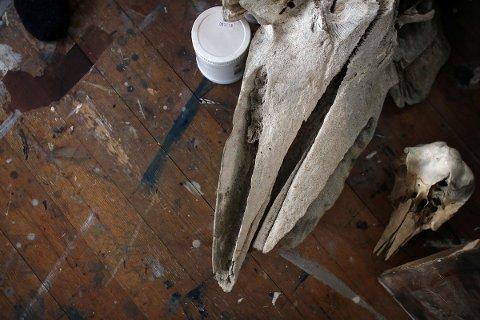 Kraniet til ei nise og det som Hugo Aasjord tror er en grindhval ligger på det malingsflekkete golvet i atelieret.