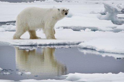 SPITSBERGEN  20100613. En isbjørn går over isen ved Phippsøya, en av Sjuøyane nord for Nordaustlandet på Svalbard søndag 13. juni. På Svalbard er det ca 3000 isbjørner. Nå på forsommeren har de gode jaktmuligheter, og de må benytte sjansen til å fange sel før isen smelter for sommeren. Isbjørnen speiler seg i smelte-vann. Foto: Håkon Mosvold Larsen / Scanpix