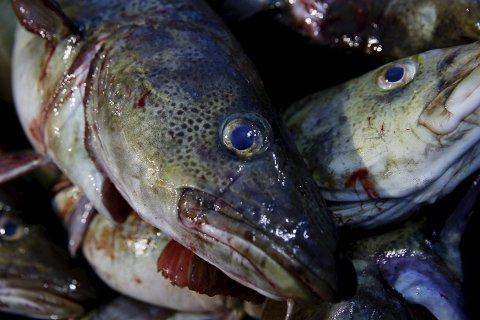 Torsk var et av fiskeslagene som tollerne fant i lasterommet i varebilen ved svenskegrensa natt til lørdag. Illustrasjonsfoto: Cornelius Poppe / NTB scanpix