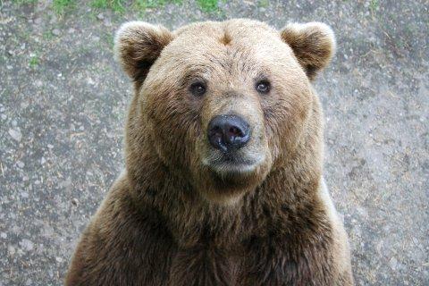 Jeg? Rovviltnemnda i Nordland vil ha bjørnen ut av fylket.bildet er tatt i en park. Foto: S. SKIPNES