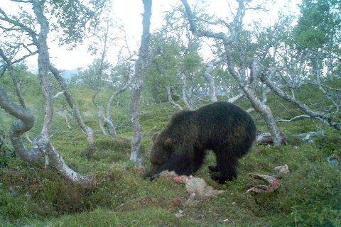 En bjørn har tatt tre sauer i Hattfjelldal. Bildet er en illustrasjon.