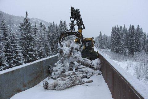 Gjør inntrykk: Nyheten om 106 reinsdyr som mistet livet på Nordlandsbanen går verden rundt – blant annet i Daily Mail. Her fra opprydninga etter reinmassakren. Foto: Rune Pedersen