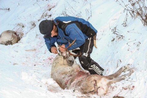 Ole Henrik Kappfjell  skjærer ører av rein for å fastslå hvem som eier dyret.