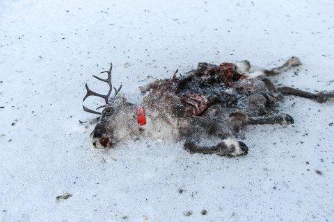 Dødt reinsdyr ved E6 nord for Laksforsen. Åtseleterne har forsynt seg grovt