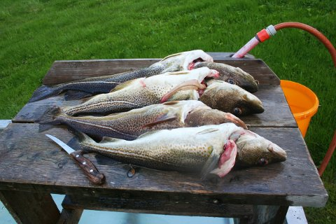 Torsk: Kysttorsk er en av artene fisketurister fisker mye av.foto: asbjørg sande