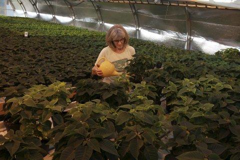 Forbereder jula: Marianne Norum steller 1.900 julestjerner i gartneriet ved landbruksskolen i Marka. Foto: Stine Skipnes
