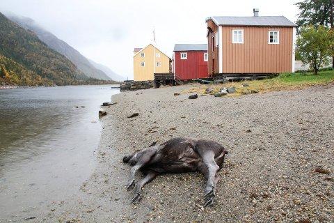 FLOM: Elgen, som ikke så ut til å ha vært død veldig lenge, ble liggende like sør for Lydiabrygga (rød brygge) i Mosjøen.