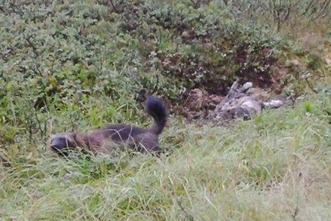 Her har et viltkamera inne på fjellet fanget jerven på fersken ved et kadaver. Foto: Viltkamera/RanaBlad