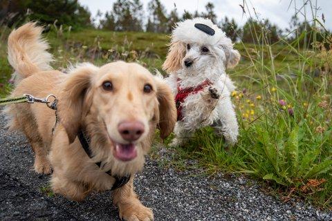 De siste dagene har rundt 20 hunder dødd av en ukjent hundesykdom