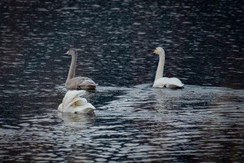 Denne svanefamilien ble fotografert ved Ømmervatn i midten av november 2019. To voksenfugler og en ungfugl i mørk fjærdrakt.