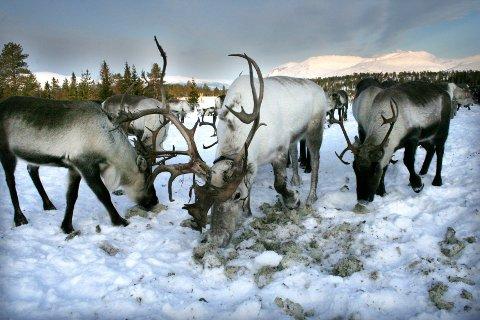 Reineierne i Jillen-Njaarke reinbeitedistrikt samler nå flokken på Sjåmoen.