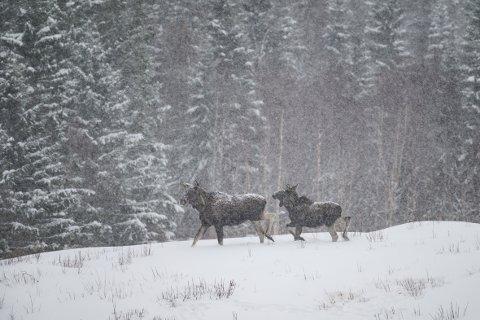 Elgen sliter i Hattfjelldal og det er registrert omfattende kalvedød på grunn av matmangel.