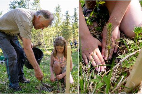 TREPLANTING: Eline Dyrhaug Bardal får hjelp av Knut Tverå til å plante sitt grantre.