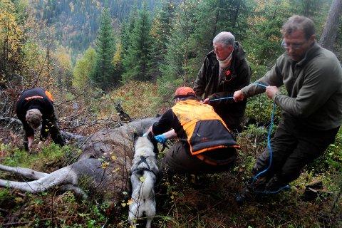 MYE ELG: Til årets jaktsesong er det i Vefsn tildelt 450 dyr, men jegerne vil få en ekstra oppgave under elgjakta.