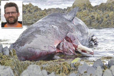 SOLID STYKKE DYR: Slik så den døde hvalen ut før den ble slepet ut til havs.Foto: Kenneth Strømsvåg.