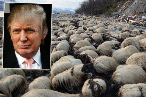 HVA SER DU HER?: Øyet kan bli lurt: Her ser noen en frisyren til Donald Trump (innfelt) mens andre ser villsau.