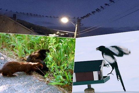 Disse tre artene terroriserer  faunaen, ifølge artikkelforfatteren. Illustrasjonsbilde. Fotomontasje.