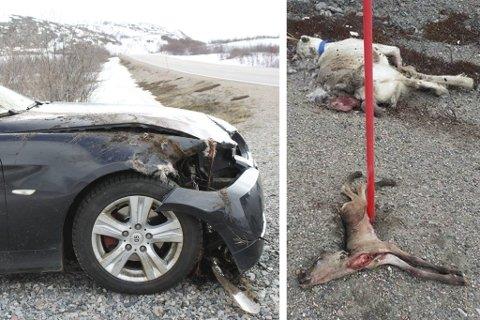 OMKOM: Kalven og simla døde momentant i sammenstøtet. Den ufødte kalven ble revet ut av moren.