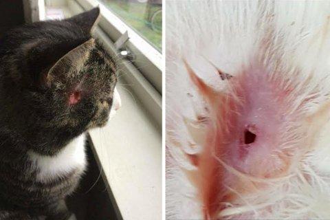 To av kattene som har fått skader i nabolaget (Foto: Privat)