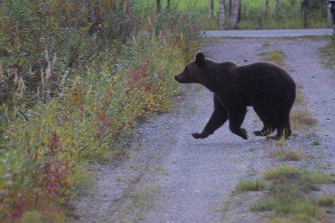 I TRAV: Her lusker bjørnen rundt i innkjørselen. Det er ikke første gang Øvre Pasvik camping har storfint besøk av bamefar, men det er sjelden bjørnen er så nærgående.