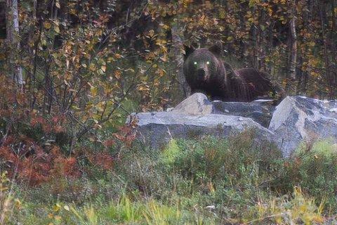 NYSGJERRIG: Ungbjørnen var verken redd eller agressiv, og stakk ikke av da Hanne Tove Randa dukket opp med kamera.