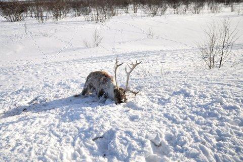 PÅKJØRT: Døde reinsdyr langs veiene ikke et uvanlig syn i Finnmark. På dette illustrasjonsbildet ser man en rein som har ligget lenge langs riksvei 92.