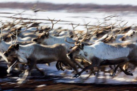 TRAFIKKFARE: Finske myndigheter telte 4.308 kollisjoner mellom bil og reinsdyr i 2015. Året etter hadde antallet sunket med 838.
