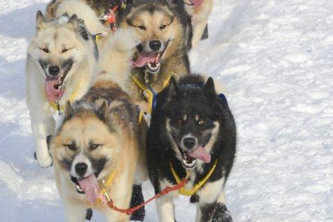 FULLFØRTE: 13 grønlandshunder og en Alaska Malamute utgjorde spannet til Stacknau. Ni av dem kom i mål.