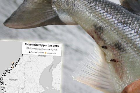 Helsen til fisk i oppdrettsanlegg trues av lus og andre sykdommer. Montasje.