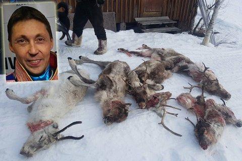 «DREPT»: Disse reinsyrene er blant 20 dyr som den siste tidem er funnet enten drept eller hardt skadet. Per Anders Bongo (innfelt) mener jerven har drept reinene hans. Montasje.