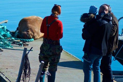 FOLKEVANDRING: Hele Sørvær har strømmet ned til flytebrygga på Sørvær for å se på hvalrossen.