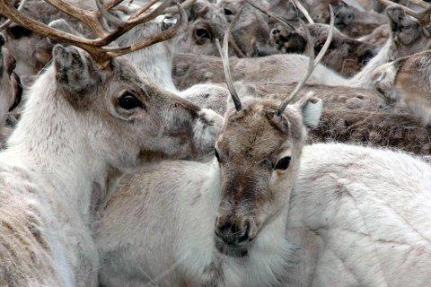 IKKE TRODD: Reineiere i landets største reindistrikt Vest-Finnmark får 21 prosent av sine krav erstattet, mens saueeiere i Trøndelag får erstattet 60 prosent av kravene.