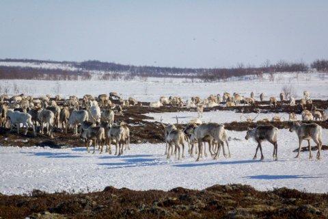 Uvanlig mye snø og lite vind fører til at reinen i Finnmark mange steder ikke klarer å grave seg ned til maten. Reindriftsutøvere frykter tidenes beitekrise. Illustrasjonsfoto: