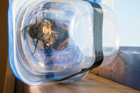 MERKE PÅ HODET: Slik ser insektet ut inne i boksen Morten har funnet til den.