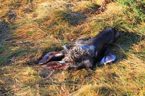 HODE PÅ EIENDOMMEN: Dette elghodet er dumpet på eiendommen til Steinar Jomisko på Høyvik utenfor Vadsø. Han håper rette vedkommende kommer og rydder opp.