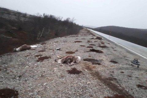 FÆLT SYN: Her ligger flere drepte reindyr etter påkjørsel.
