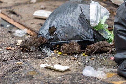 UKJENT STATUS: Rotteproblem er vanskelig å bedømme på sommertid. Illustrasjon.