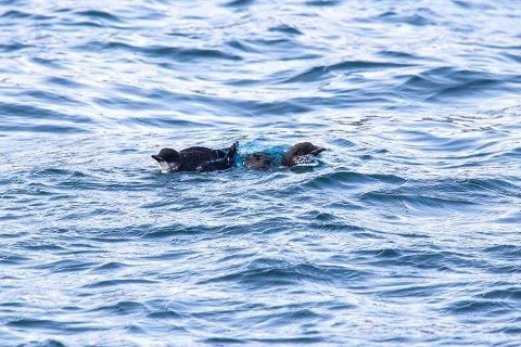 FANGET: Slik drev polarlomviene rundt i Vardø havn i en times tid før redningen kom dem til unnsetning.