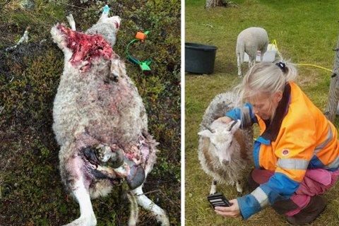 UHYGGELIG: Bjørnen tok minst seks sauer tilhørende Trude Mikkola og nabobonden natt til fredag. Flere ble funnet levende med jurene revet av.