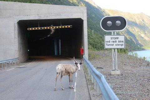 TREKKER NED: Sau og reinsdyr trekker ned til vegbanen og inn i tunneler for å kjøle seg ned på sommerstid. Det kan føre til farlige situasjoner. Bildet er tatt på fv. 882 utenfor Øksfjordtunnelen i Loppa kommune i Finnmark.