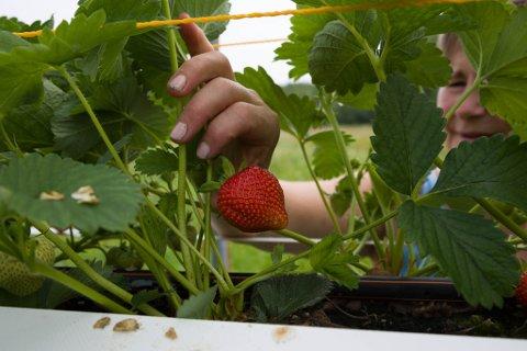 GULL: Jordbærdyrker Silja Støyva Arvola i Neiden kunne plukke de første jordbærene denne uka.