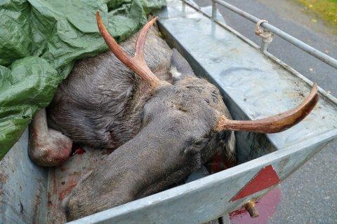 UNGOKSE: Denne unge oksen ble felt i Porsanger i dag tidlig av jaktlaget til Kjetil Hanssen