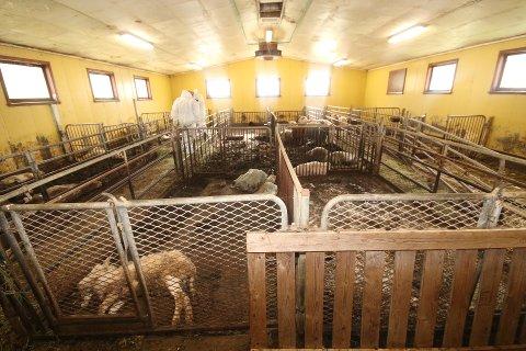 FJØSET: Da Mattilsynet og politiet kom til fjøset 14. september 2020 lå det døde dyr overalt. Kun to av de 13 sauene som var i live var i slik forfatning at de overlevde.