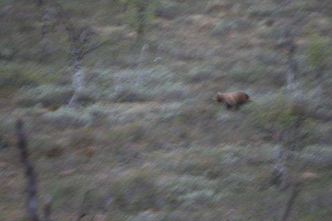 Denne bjørnen jager nå rein i Bugøyfjord. Magga-siidaen har ekstra vakter ute for å unngå at den tar reinkalver.