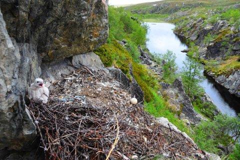 RAVNEREIR: Her en av jaktfalkungene som ble dokumentert på turen. Den ble funnet i ei berghylle.